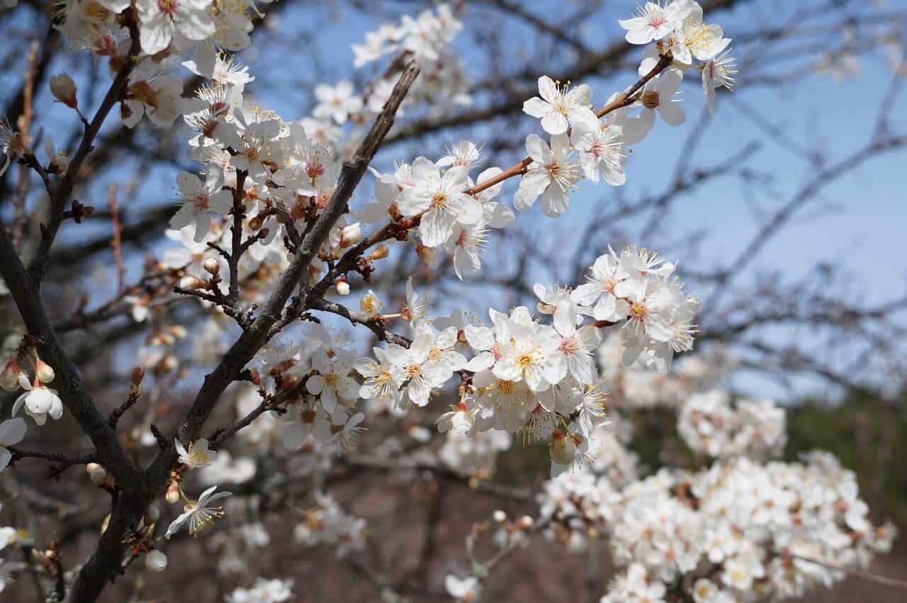 bloesem in de lente